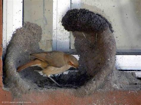 pix grove hornero bird building mud nest