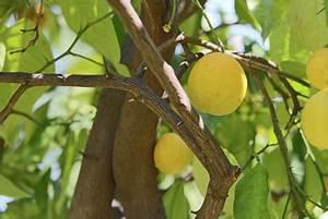 Dünger Für Zitronenbaum : mein zitronenbaum bl ht nicht woran es liegt und was hilft ~ Watch28wear.com Haus und Dekorationen