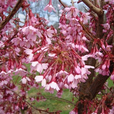 prunus flowering cherry prunus okame flowering cherry tree buy cherry blossom