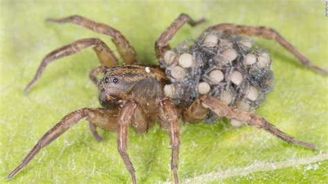 are wolf spiders dangerous what bikers do during winter time motorcycles