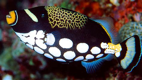 waikiki aquarium clown triggerfish