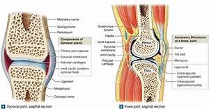 9 2  Diarthroses  Synovial Joints Contain Synovial Fluid