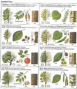 How Can Leaves Identify A Tree - Phenology