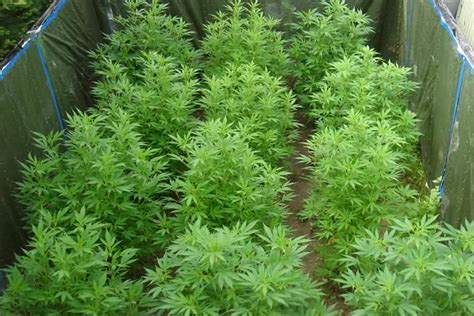 Advantages Of Growing Marijuana Outdoors Grasscity