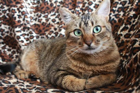 images asian wildlife pet fur kitten feline