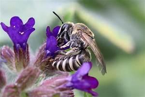 Wie überwintern Bienen : hautfl gler bienen hummeln wespen und ameisen nabu ~ A.2002-acura-tl-radio.info Haus und Dekorationen