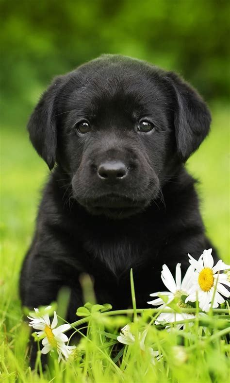 finding  perfect black lab puppy isnt hard