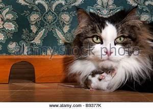 Maus Im Zimmer : katze spielt mit der maus stockfoto bild 281234099 alamy ~ Indierocktalk.com Haus und Dekorationen