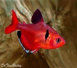 Serpae Tetra for Sale AquariumFish