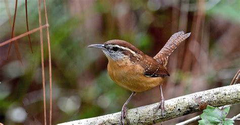 carolina wrens appearing  increasing frequency  area
