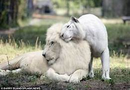 The world s first white  liger  cubs are rarest big cats on the p     White Liger Cubs