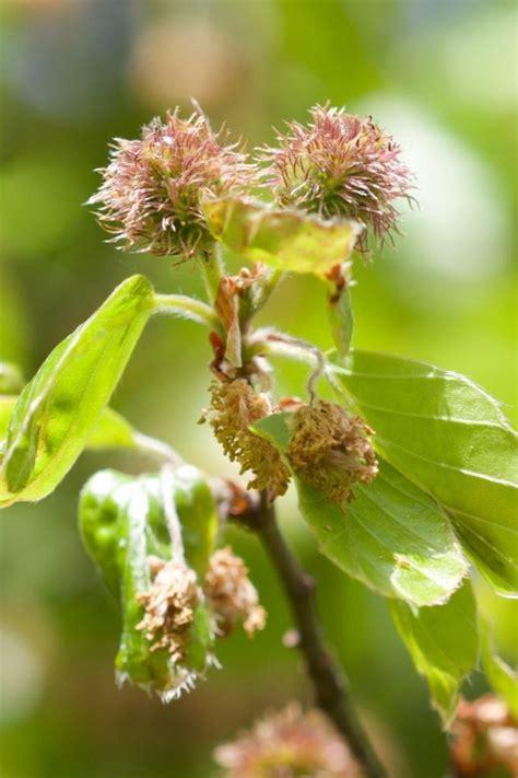 rotbuche fagus sylvatica xenophora