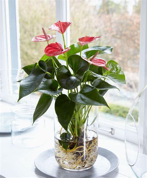 koop nu kamerplant anthurium op water bakkercom