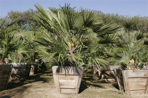 mexican fan palm care pala mesa nursery plant nursery in fallbrook ca