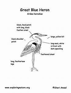 Heron  Great Blue
