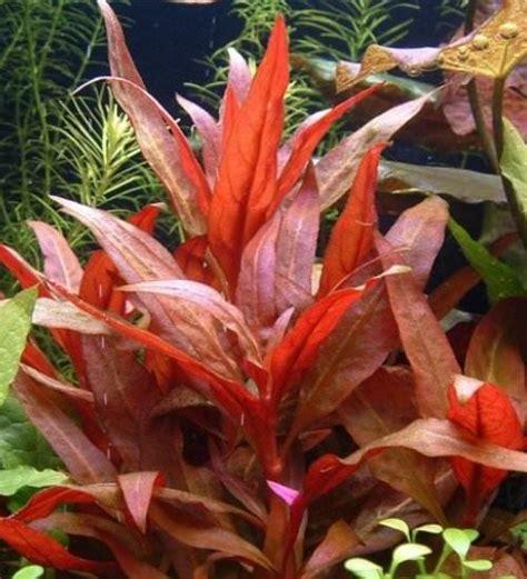 hygrophila corymbosa plante d aquarium en pot de diam 232 tre 5cm plantes d aquarium plantes