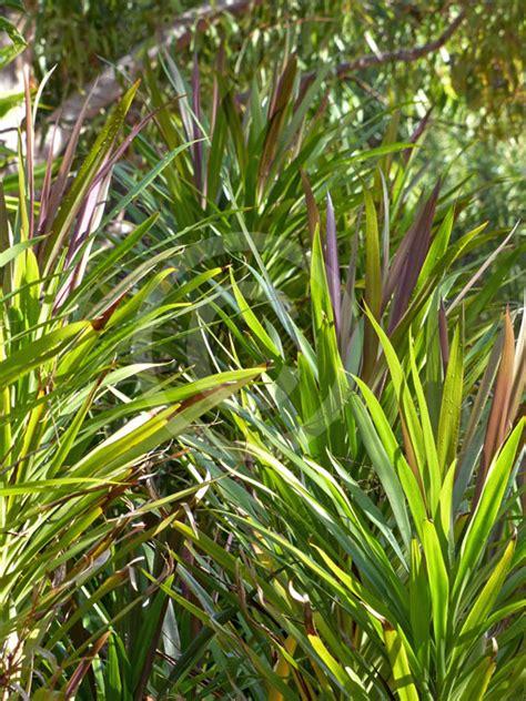 cordyline stricta congesta narrow palm lily information