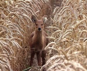 Chinese Water Deer - Norfolk Wildlife Trust