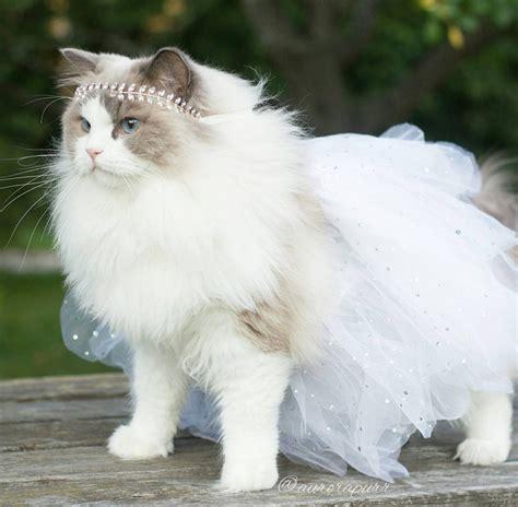 sweden princess aurora purr life  cats