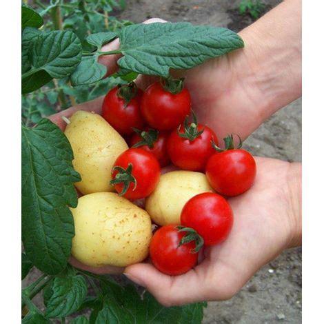 tomtato  pflanze tomaten und kartoffeln  einer pflanze