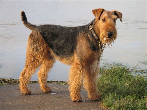 airedale terrier dog breed 187 information pictures more