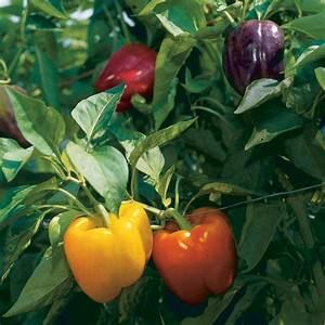 How to Grow Bell Peppers - Vegetable Gardener