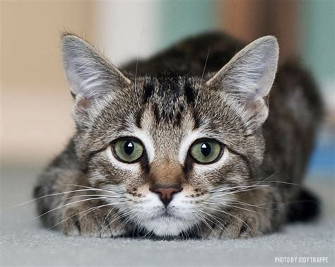 Tabby Cat: Cat Breed Profile