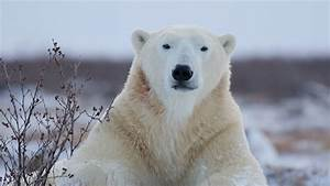 Polar Bears Are Starving  And This Video Reveals Why