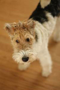 Wire Fox Terrier like Sneaky Dog | All Things Adorable ...