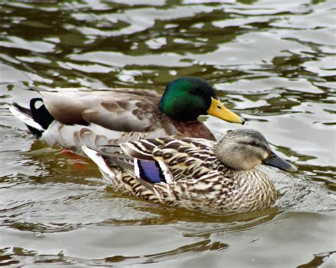 images of ducks mallard for sale ducks breed information omlet