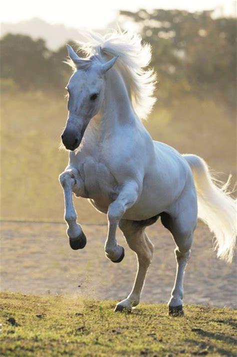 horse horses mangalarga marchador rearing brazil running brazilian unique breed lusitano stallions names beauty iberian portugal descent pretty intelligence most