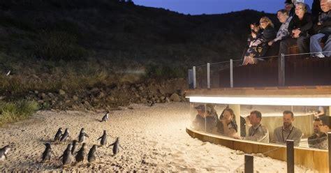 phillip island penguin parade ultimate eco  lunch melbourne australia getyourguide