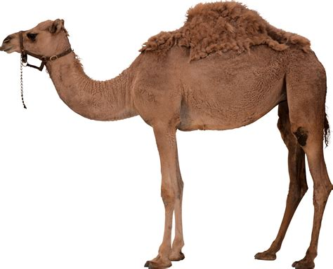 Camel Images Camel Png Image Free Camel Png Pictures
