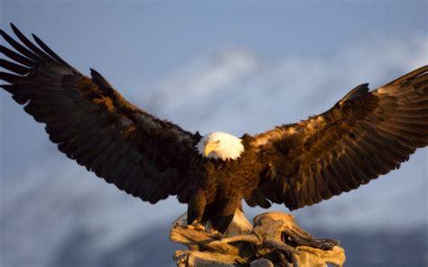 bald eagle wingspan   ft hd wallpaper wallpaperscom