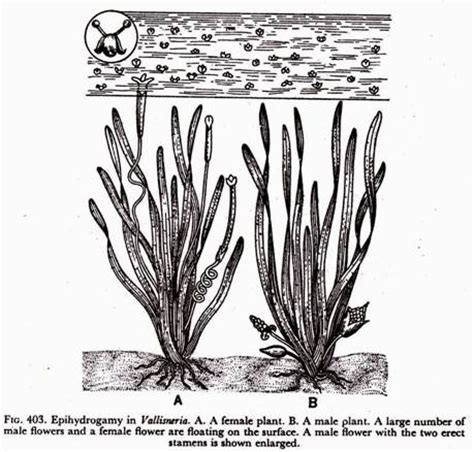 Diagram Of Water Flower by Agents For Pollination Anemophily Zoophily And