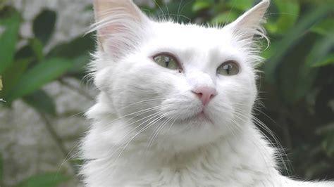 Brazilian Angora White Cat ♀ In
