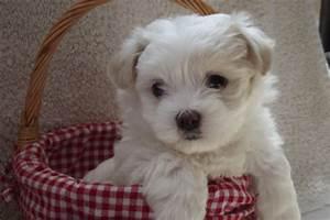 Maltese Shih Tzu Puppies for Sale, Rescue Organizations ...
