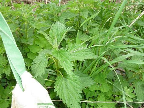 Transformational Gardening Dwarf Nettle Annual Nettle
