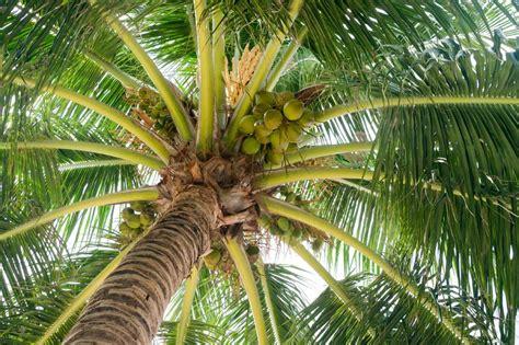 cuisine huile de coco le cocotier et fruit le coco