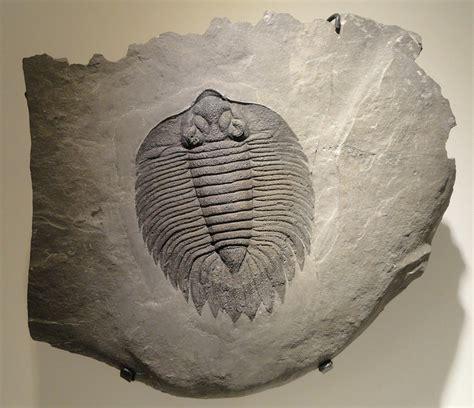 arctinurus boltoni trilobite  photo  pixabay