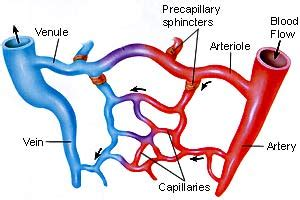 capillary bed definition cardiovascular system s biology portfolio