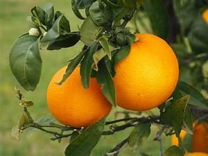 Arbre A Fruit : photo gratuite orange fruits oranger agrumes image gratuite sur pixabay 1117481 ~ Melissatoandfro.com Idées de Décoration