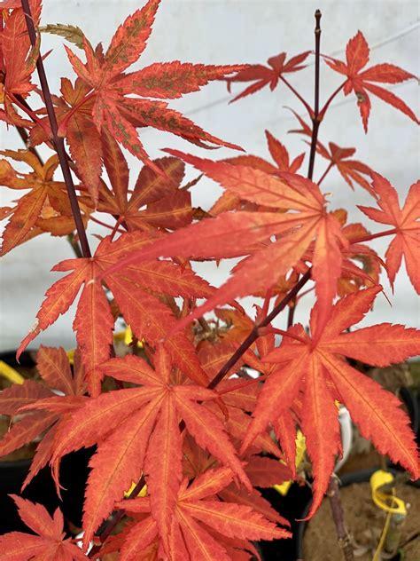Buy Acer Palmatum Red Delight Japanese Maple