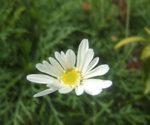 jenis manfaat bunga aster