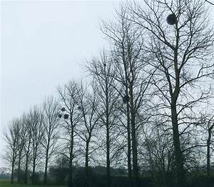 Mistletoe in Winter Trees - Catataxis