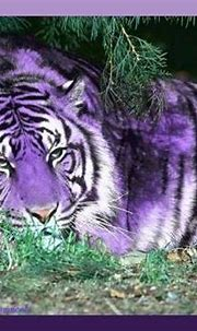 Pictures and Information About White Bengal Tigers – Best ...