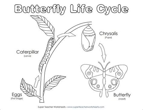 students   fun coloring  diagram   life cycle   butterfly science