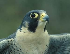 Discover nature with peregrine falcon webcam   Missouri ...  Falcon