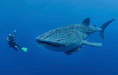 decline  size  whale sharks coastal angler
