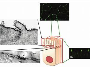 Tight Junction Can Be Viewed By Electron Microscopy And